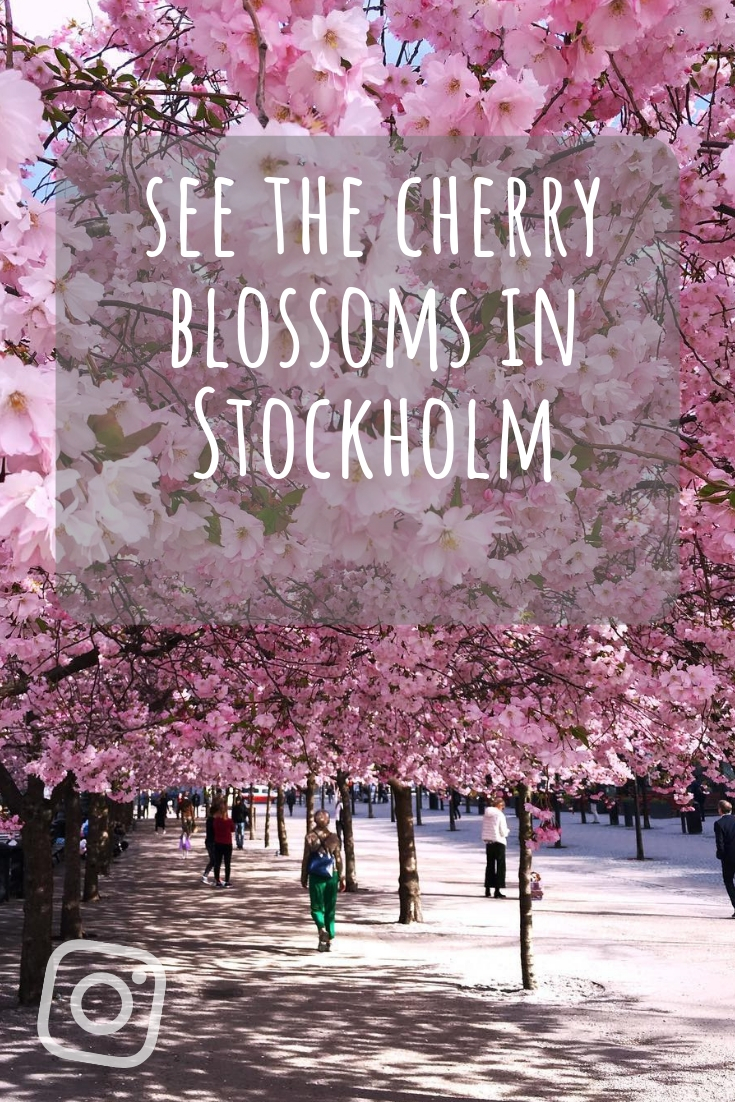 See the cherry blossoms in Stockholm