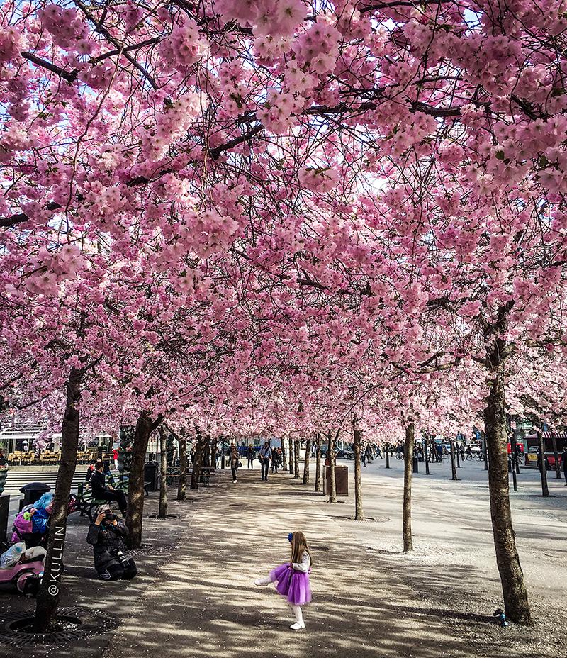 Cherry blossom trees in Kungsträdgården, Stockholm
